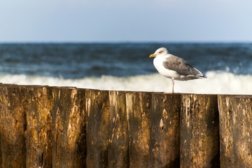 Seagull sitting on a wooden stake in the sea. Birds on the Baltic Sea coast. Rest on the breakwater.