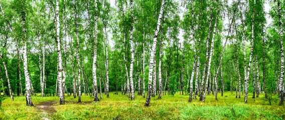 Papiers peints Forets Birch grove with a road on sunny summer day, summertime landscape