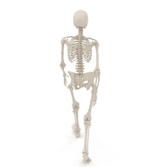 medical accurate female skeleton walking pose on white. 3D illustration