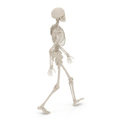 medical accurate female skeleton walking pose on white. 3D illustration