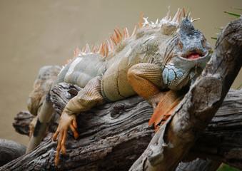 Iguana, reptil, animal, tronco