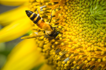 Bees gathered pollen from a sunflower.