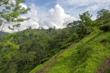 Indian tea plantation in the Darjeeling