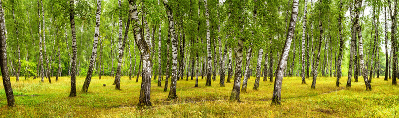 Birch grove on a sunny summer day, landscape banner, huge panorama Wall mural