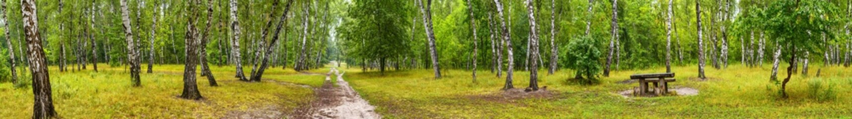 Birch grove with a road and bench on sunny summer day, huge panorama