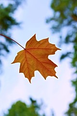 Single orange sugar maple leaf with blue sky background