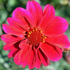 Beautiful red color Dahlia close up square shape image.