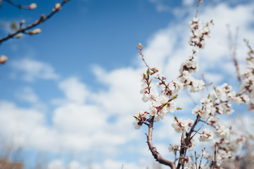 Branch with flowers. Apricot blossom, bloom, flowering. Welcome fresh spring. Floral background, macro, close up. Sakura flowers.