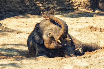 Young elephant calf resting