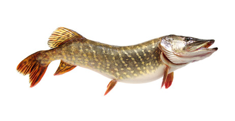 Pike isolated on white