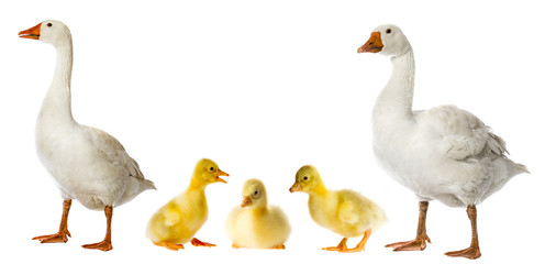 white goose and goslings (Anser anser domesticus) isolated on a white background