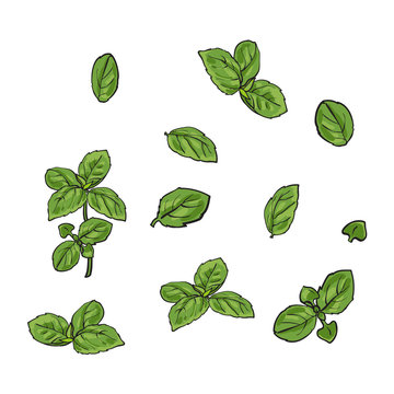 Hand drawn set of basil leaves, single and twigs, sketch style vector illustration isolated on white background. Realistic hand drawing of basil leaves isolated on white background