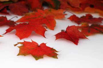 Golden maple leaves on white background