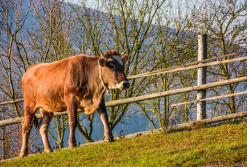 rufous cow near the fence on hillside