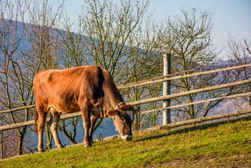 rufous cow grazing near the fence on hillside