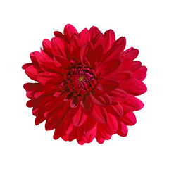 dahlia red isolate on white background