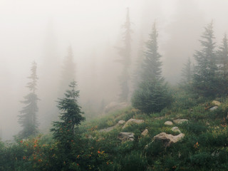 Foggy Sub Alpine Forest