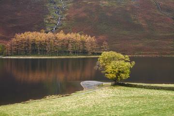 Lone tree in autumn. Buttermere, Cumbria, UK.