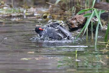 Moorhen duck bathing in shallow water