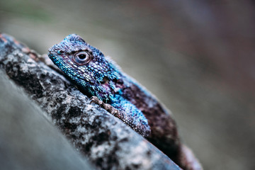 Macro closeup of a South African Southern Rock Agama