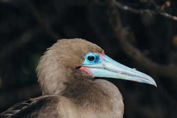 Red-footed booby close-up
