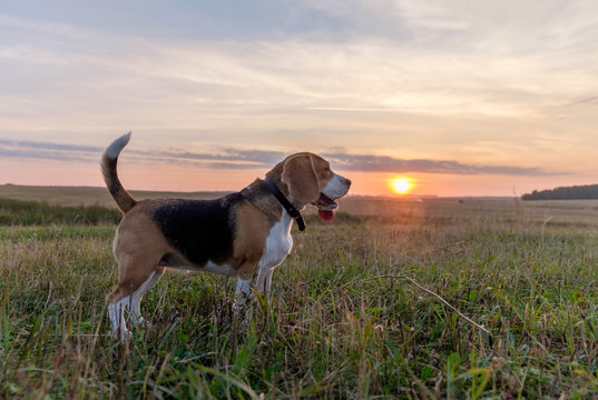 Beagle dog walking in the autumn evening