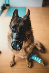 Wounded German Shepherd in pet hospital