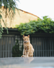 Red cat sits on top of car and looks straight at the camera, bright day, summer outdoor