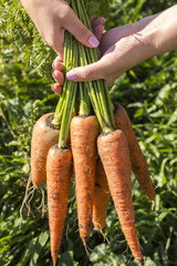Fresh, sweet carrots. Organic vegetables. Healthy food. Carrot in the hands