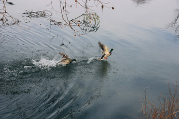 Two ducks flying over the river surface