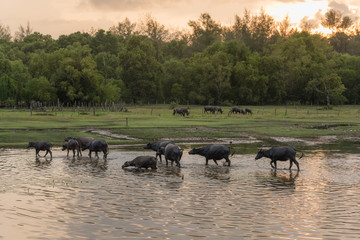 A herd of Buffalo moves in the meadow near the lake in Countryside, Thailand at sunset ,forest Background
