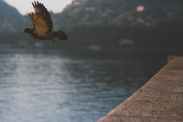 A pigeon by the lake