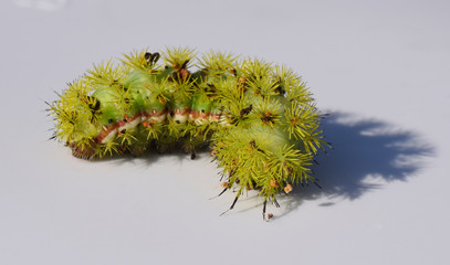 Io moth caterpillar at the University of Mississippi Field Station