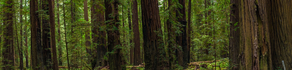 Redwood Panorama