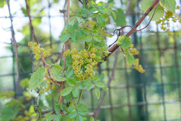 Young inflorescence of grapes on the vine close-up. Grape vine with young leaves and buds blooming on a grape vine in the vineyard. Spring buds sprouting.