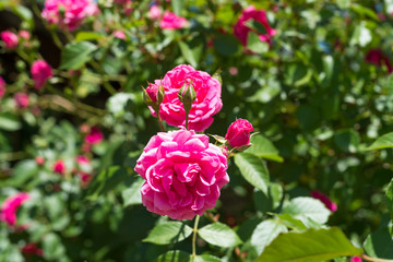 A fragrant beautiful bush curly pink rose tea on a blue sky background.