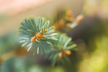 Fresh Pine Tree Branches In Sunny Day Closeup