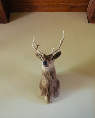 Deer mounted on interior wall of country home