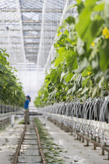 Hydroponic cucumber production in greenhouse