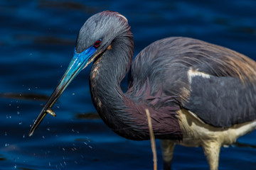 heron with small fish