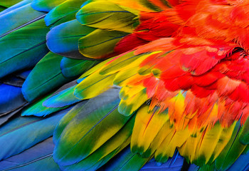 Close up of Scarlet macaw bird's feathers, exotic nature background and texture. Fotoväggar