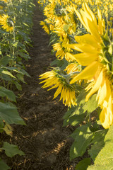 Row of blooming sunflowers