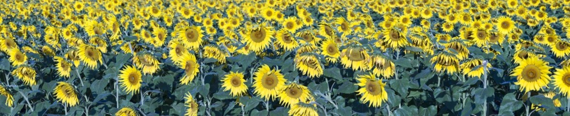 Panorama of sunflower blooms in field
