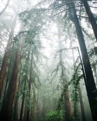 Winter Redwoods