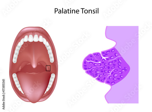 Anatomy of the palatine tonsil tissue in cross section, unlabeled ...