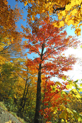 Autumn Leaves on a Maple Tree in Vermont