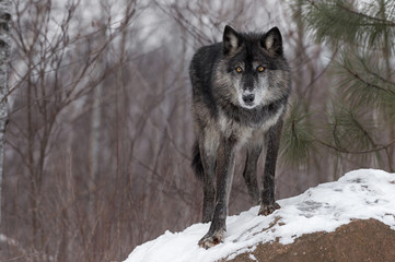 Fotomurales - Black Phase Grey Wolf (Canis lupus) Paw Forward On Rock