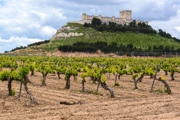 Vineyard with Castle of Penafiel as background, Valladolid Province, Spain