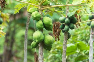 Papaya, exotic fruits on the tree in French Polynesia