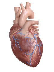 3d rendered medically accurate illustration of human heart